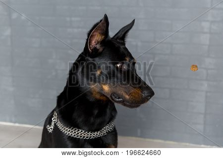 Portrait Of Cute Beauceron, French Shepherd Dog