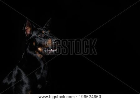 Beauceron Dog With Tongue Out, Black Background