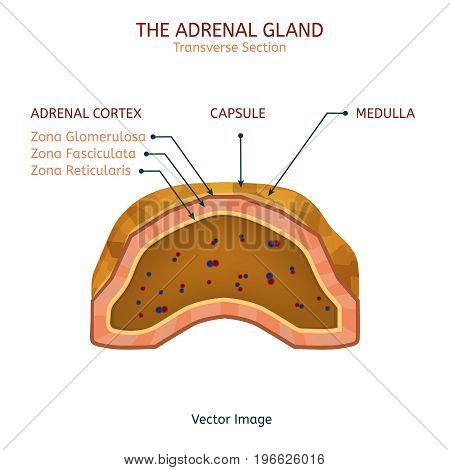 Human adrenal gland image with a cross section of the inner organ with red and blue arteries. Health care, anatomical and medical vector illustration.