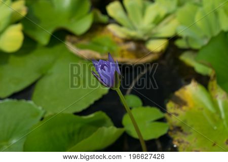 lotus be pleasing with impure like to come to see the food and the pistil lotus