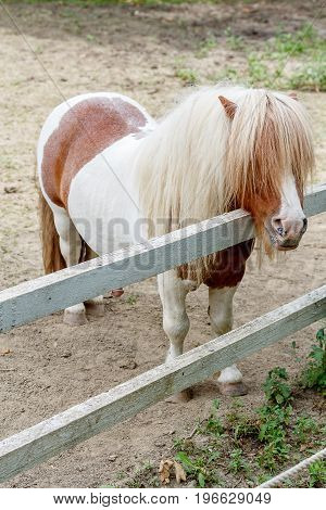 Miniature horse Falabella standing on the ground.