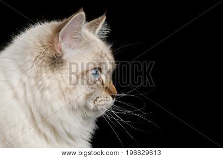 Portrait of Neva Masquerade Cat with Blue Eyes in Profile view Isolated on Black Background