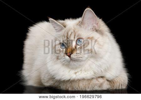 Cute Neva Masquerade Cat with Blue Eyes Lying on Isolated Black Background