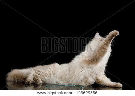Playful Neva Masquerade Cat with Blue Eyes Lying and stretched paw on Isolated Black Background