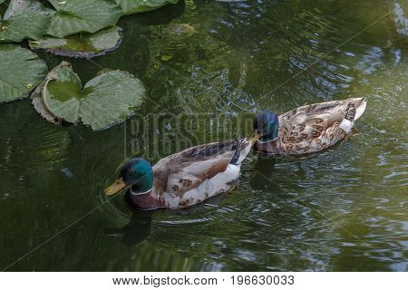 Two ducks floating in a pond. Selective field of focus.