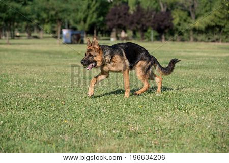 German Shepherd Running Through the Green Grass. Selective focus on the dog