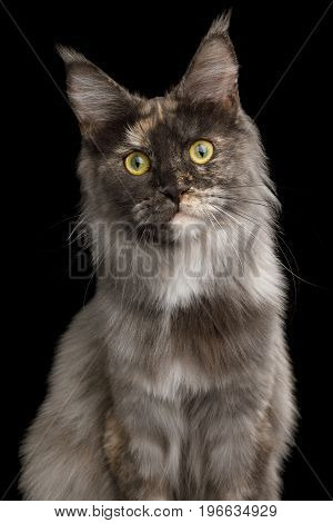 Close-up Portrait of Tortoise Maine Coon Cat Stare Isolated on Black Background, Front view