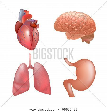 Realistic human organs set. Set of human anatomy parts heart, lung, stomach, brain, Vector illustration