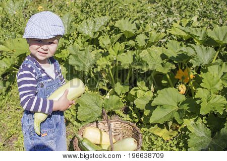 a little boy collects the zucchini and put them in the basket