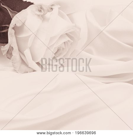 White rose closeup can use as wedding background. In Sepia toned. Retro style