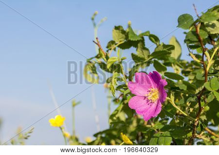 Blossoming flower of a dogrose. Dogrose flower close up, nature
