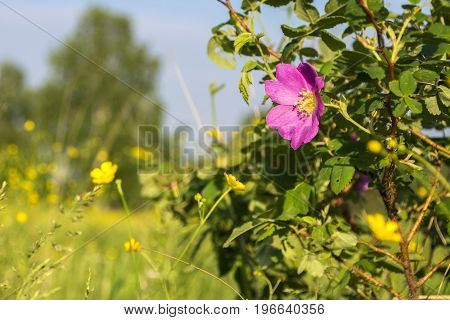 Dogrose flower close up nature. Цветок шиповника.