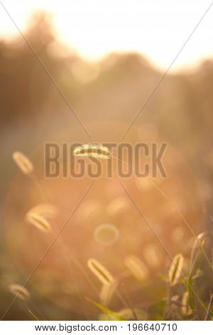 Ear of wheat backlit sunset in a field of grass in countryside in italy