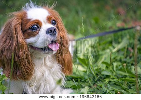 Beautiful Cavalier King Charles Spaniel In The Grass Background