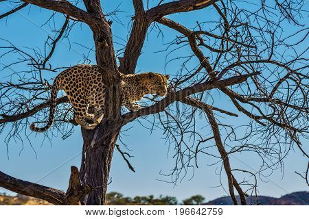 African spotted leopard after feeding. Well fed leopard resting on a tree. Travel to Namibia. The concept of exotic and extreme tourism
