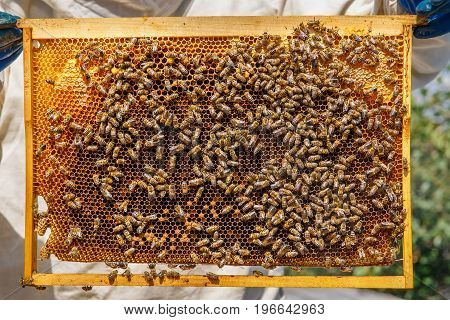 closeup of beekeeper hands holding a honeycomb full of bees. Honey cells and working bees. Beekeeping concept
