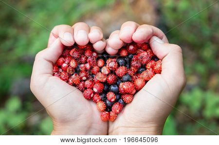 Closeup of Woman hands holding handful ripe fresh forest berries in heart shape. Blueberry and wild strawberry in human palm.