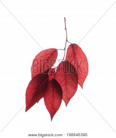 Fantastic saturated red leaves isolated over the white background. Beautiful autumn foliage with veiny texture. A branch of fresh and bright leaves. Life, environment, flora concept.