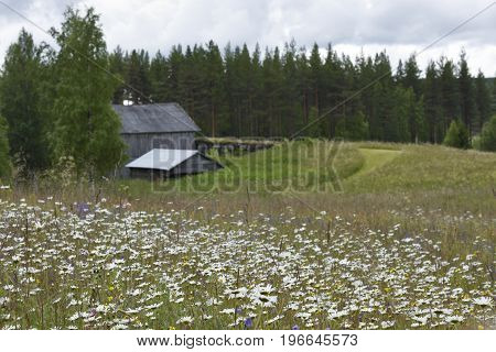 Ox-eye daisy (leucanthemum vulgare) on a meadow with a old barn in background picture from the North of Sweden.