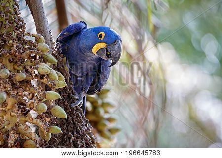 hyacinth macaw on a palm tree in the nature habitat, wild brasil, brasilian wildlife, birding, biggest parrot, blue magic, palm nuts, blue