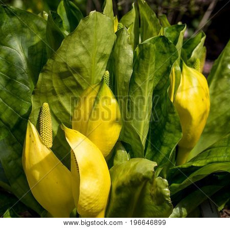 Decorative but poisonous yellow skunk cabbage Lysichiton americanus looks out of the ground in the first warm spring sun