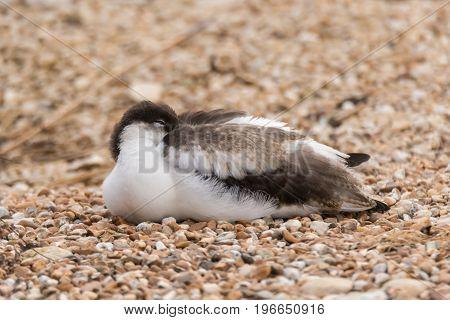 Pied avocet (Recurvirostra avosetta) sleeping. Large black and white wader in the avocet and stilt family Recurvirostridae