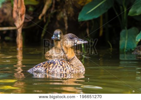 Pair of African white-backed ducks (Thalassornis leuconotus). Nominate subspecies of bird in the family Anatidae swimming on pond