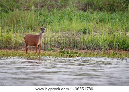 Wild swamp deer female close up in the nature habitat, wild brasil, brasilian wildlife, pantanal, green jungle, south american nature and wild