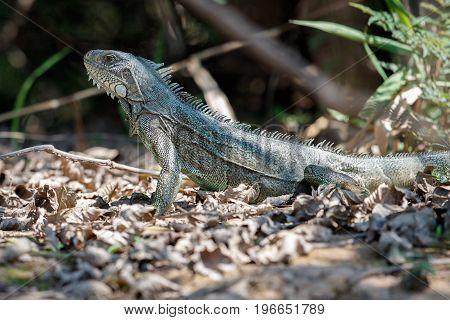 Wild green iguana close up in the nature habitat, wild brasil, brasilian wildlife, pantanal, green jungle, iguana iguana