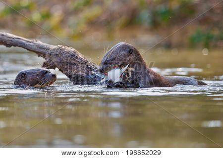 Giant river otter in the nature habitat, wild brasil, brasilian wildlife, pantanal, watter animal, very inteligent creature, fishing, fish