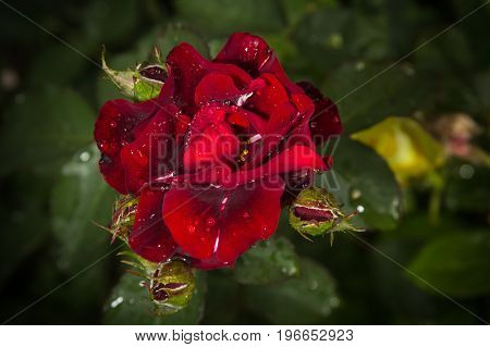Close Up Wet Red Rose Growing In A Garden