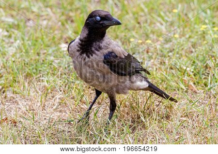 Image of a daw bird walking in a meadow