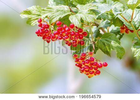 Image of the red viburnum berries ripen on a branch