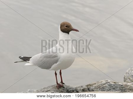 Black-headed gull, common to Europe, infrequently seen on the Eastern coast of US
