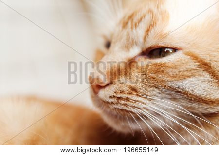 Red Cat, Close-up Portrait Of The Head, Squinted In The Sun And Sleeping, Eyes Closed
