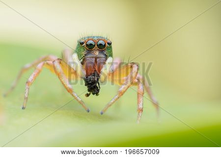 Super Macro Cosmophasis or Jumping spider eating its prey on green leaf