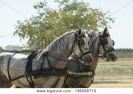 Indoor horse-hitch competition held in the village of trebujena, located in the province of Cadiz, southern Spain,Photo taken on July 22, 2017