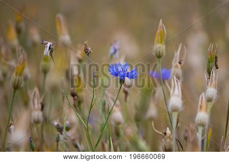 Cornflower (Centaurea cyanus) flower and seedheads. An electric blue flower of plants in the family Asteraceae growning as part of a wild flower mix in the UK