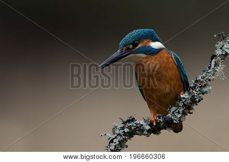 Kingfisher (Alcedo atthis) perched on lichen covered branch in the rain