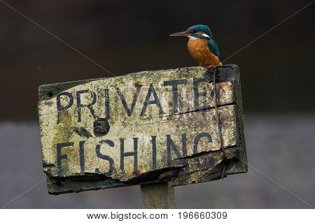 Kingfisher (Alcedo atthis) perched on private fishing sign in the rain