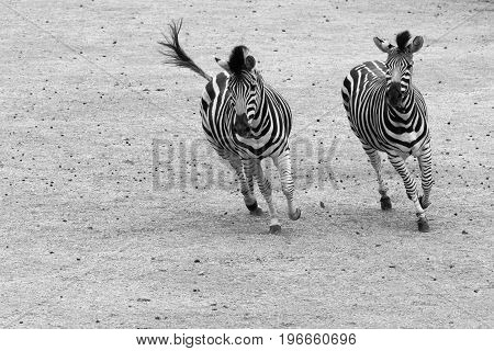 Galloping zebras in black and white. Pair of plains zebra (Equus quagga) running side by side