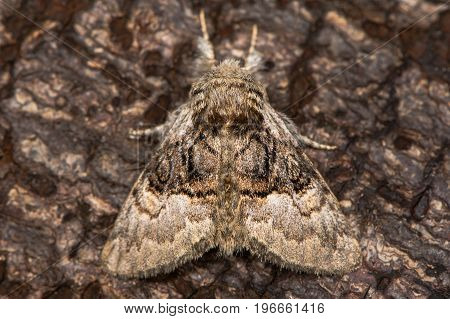 Nut-tree tussock moth (Colocasia coryli) at rest on bark. British moth in the family Noctuidae attracted to light in Bath Somerset UK