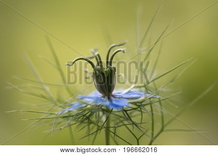 Love-in-a-mist (Nigella damascena) flower and bracts. Blue flower of English cottage garden plant in the family Ranunculaceae aka ragged lady or devil in the bush