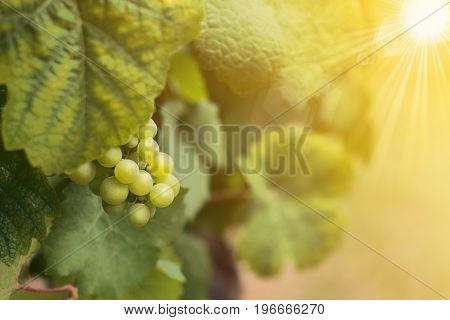 Wine grapes in summer time vineyard field