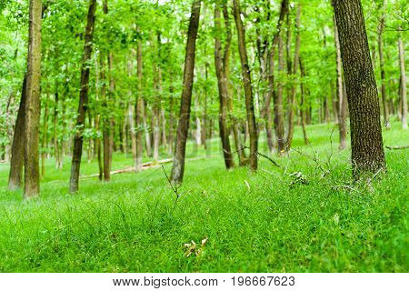 Beautiful spring deciduous trees in forest at Slovakia