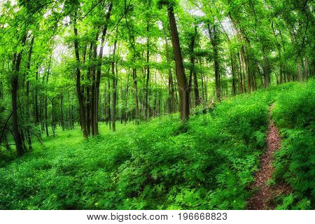 Forest path and green trees in greenwood Slovakia