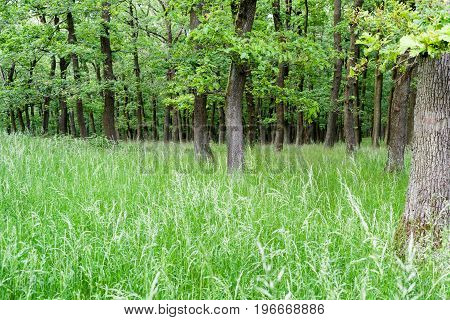 Beautiful spring deciduous trees in forest Slovakia