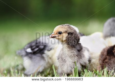 Baby Buff Brahma chick free ranging with other mixed chicks outdoors in the grass. Extreme shallow depth of field with selective focus on Brahma's face.