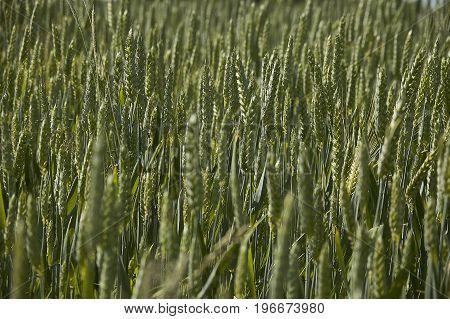 Ears Of Barley In A Field Of Cultivation