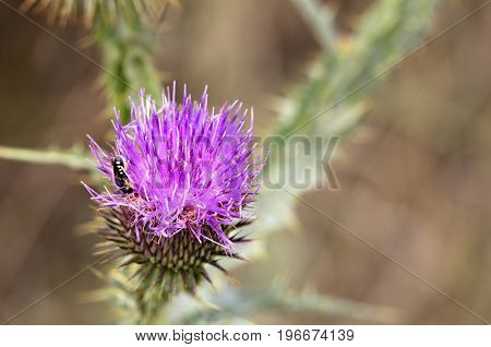 An insect on the flowering head of a thistle flower is looking for nectar